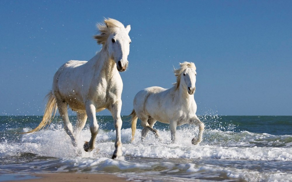 nádherní divocí koně - Camargue - Francie